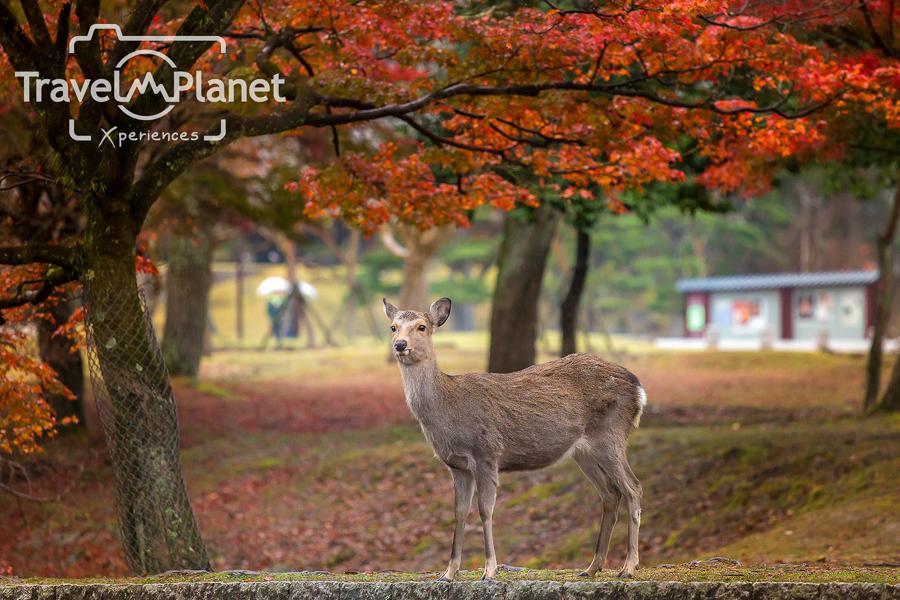 078-JapanRedLeaf-1716