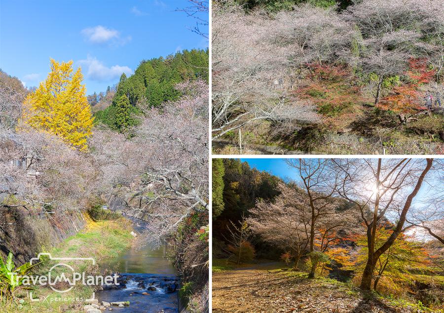 โอบาระ ซากุระ ใบไม้เปลี่ยนสี Obara Sakura Autumn